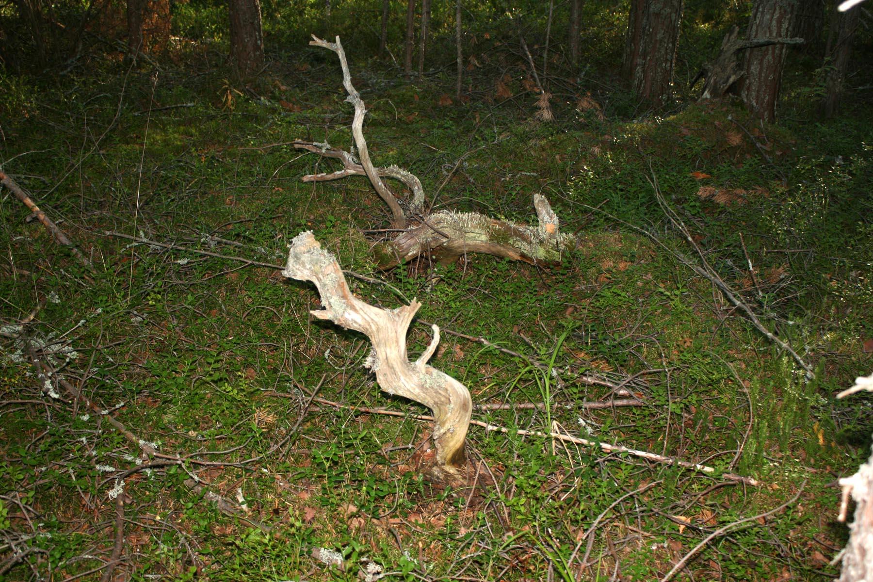 Витые корни