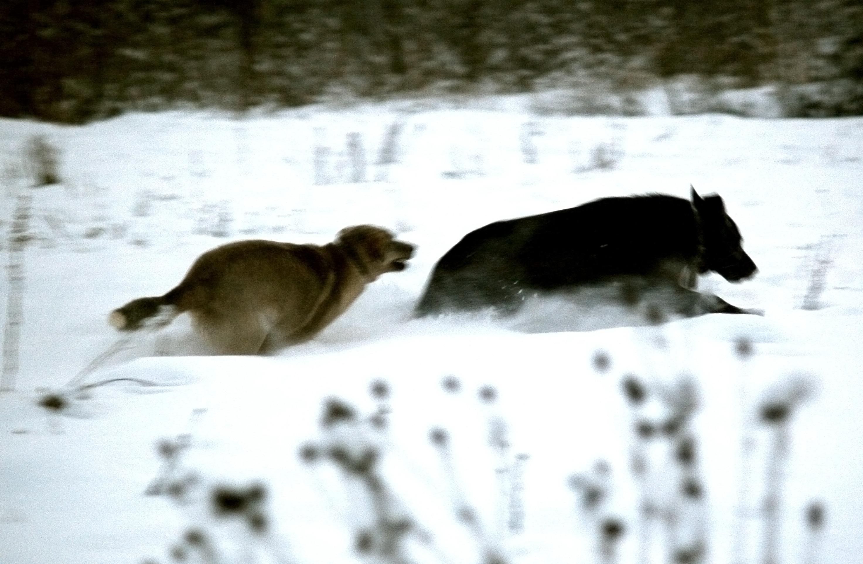 Очень быстрые собаки