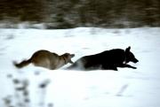 Очень быстрые собаки-2