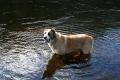 Собака купается в Онде