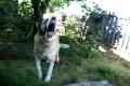 Саблезубый пес