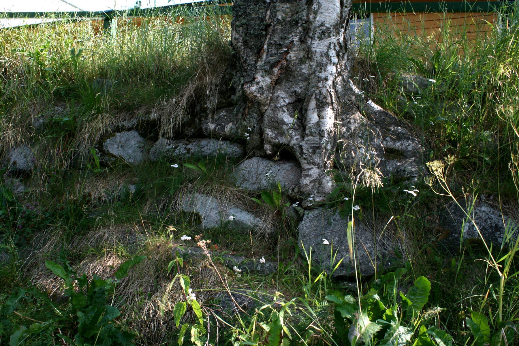 Корни березы на камнях