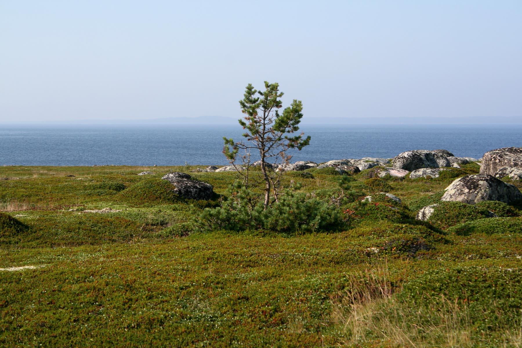 Сосна на Заяцком острове