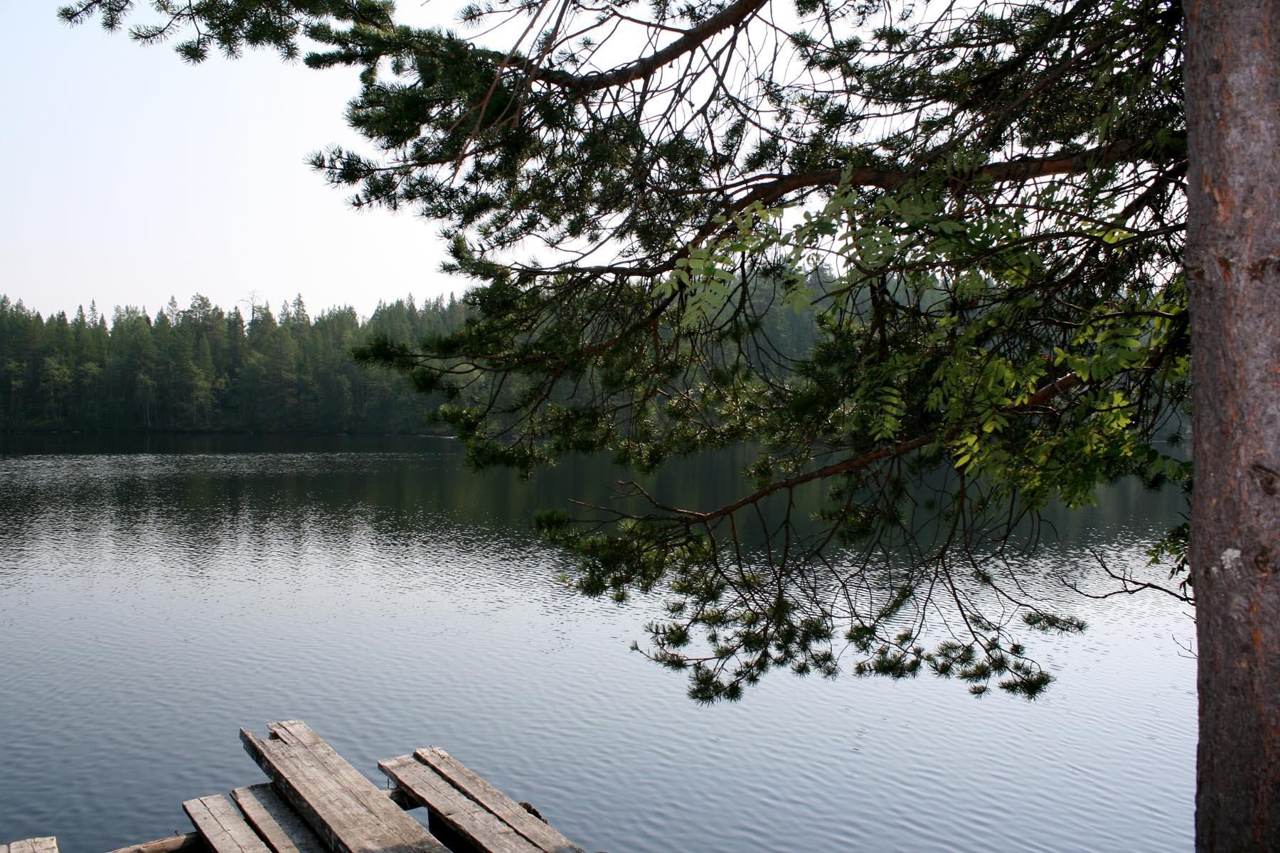 Сосна на берегу озера