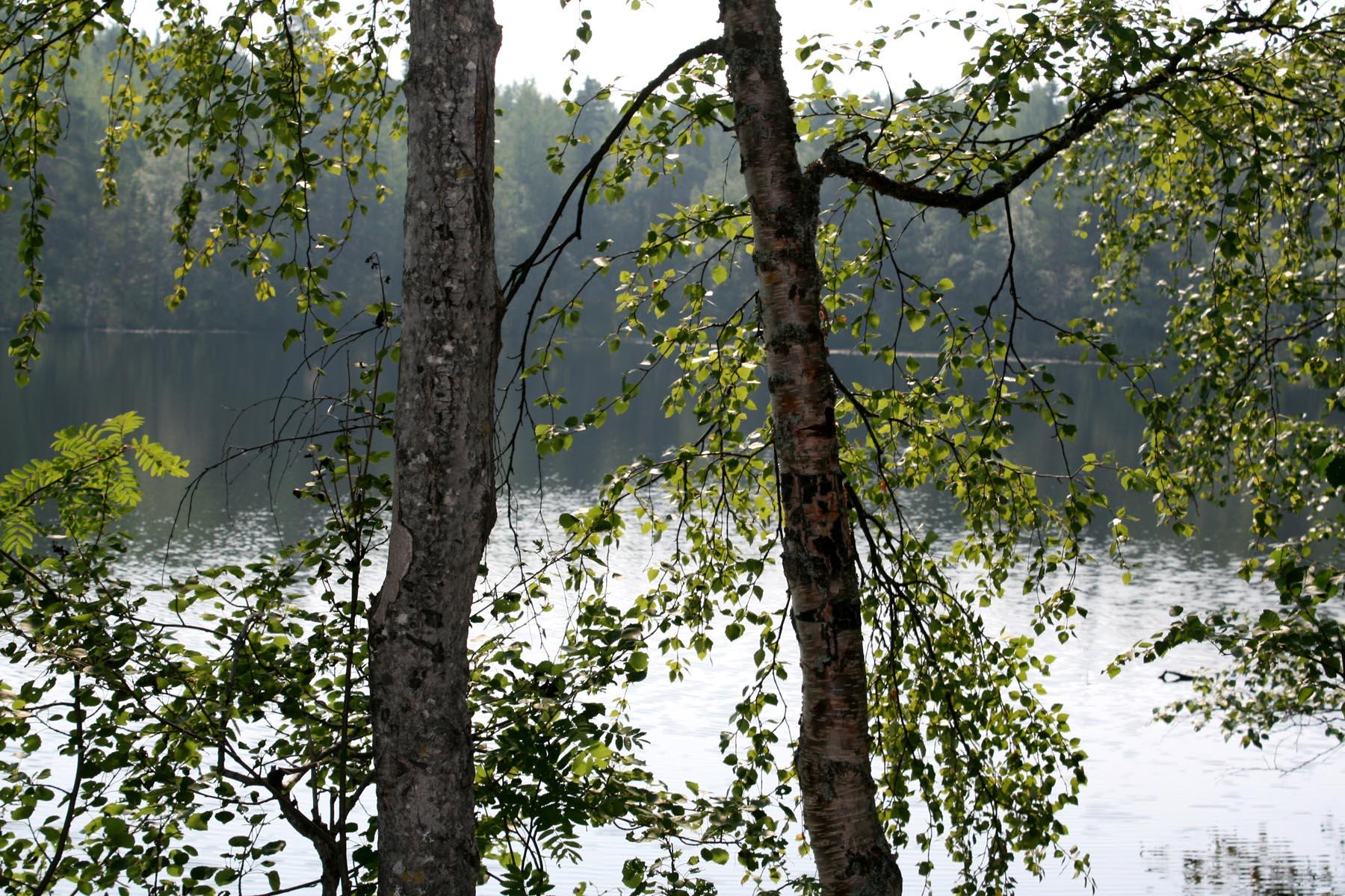 Озеро сквозь березы