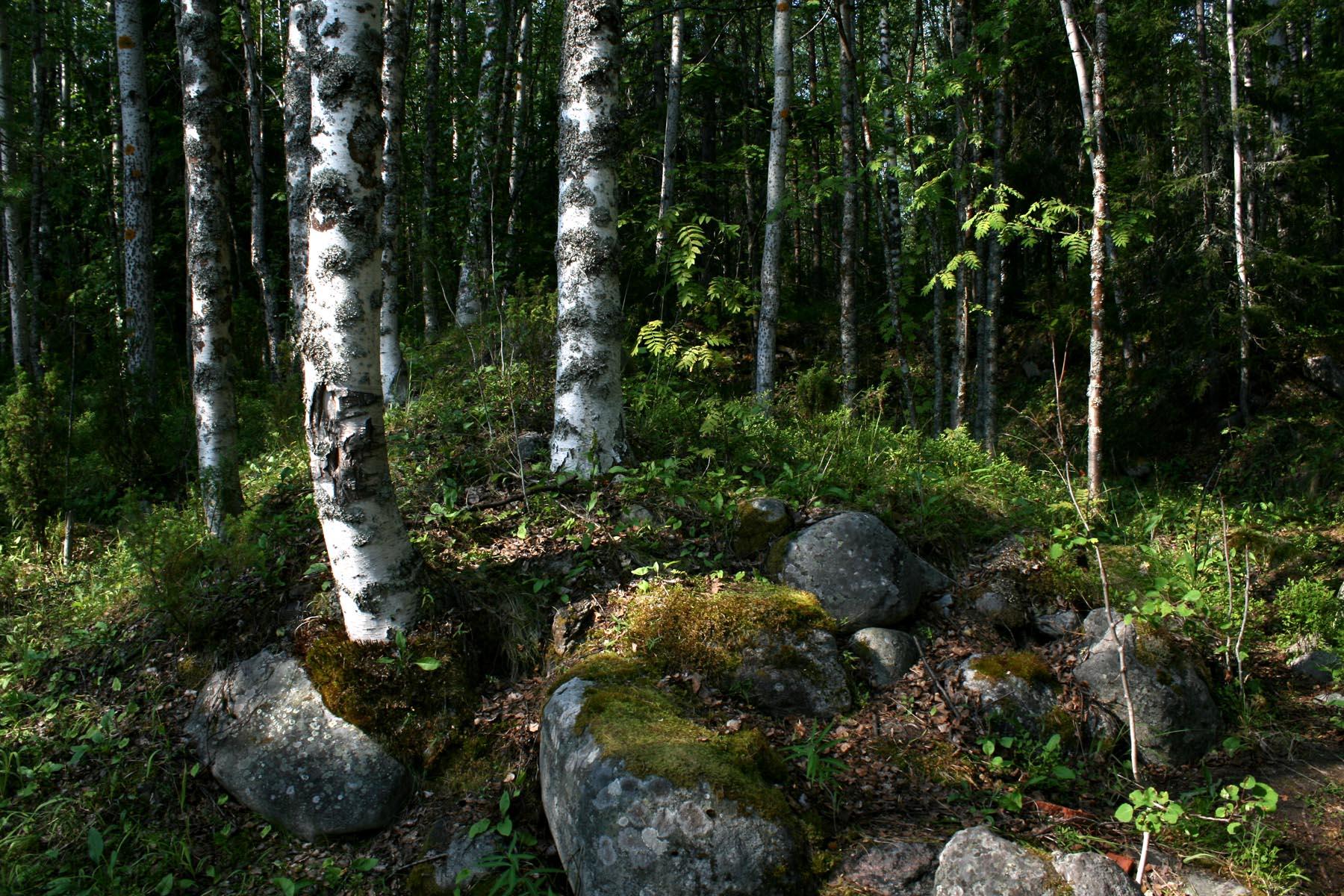 Березы на камнях