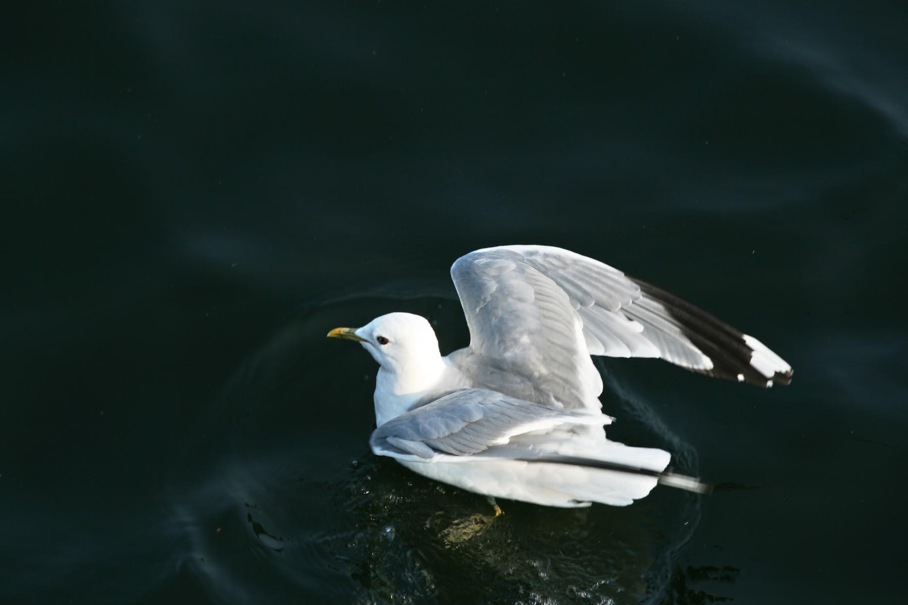 Чайка на воде