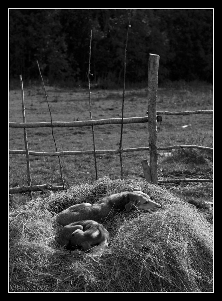 Собаки на сене
