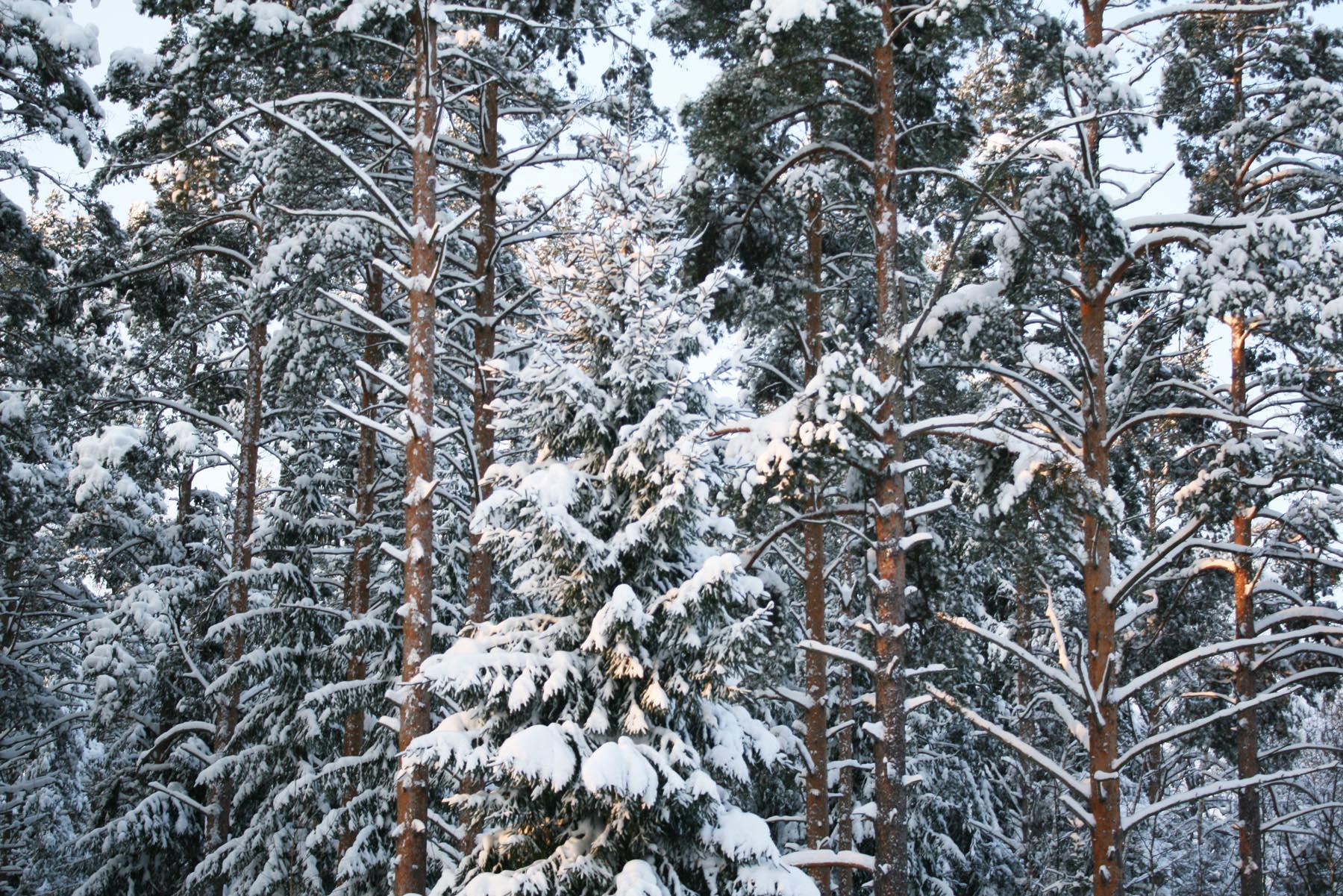 Стройный лес