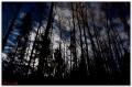 Черные деревья