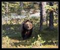 Опасный медведь