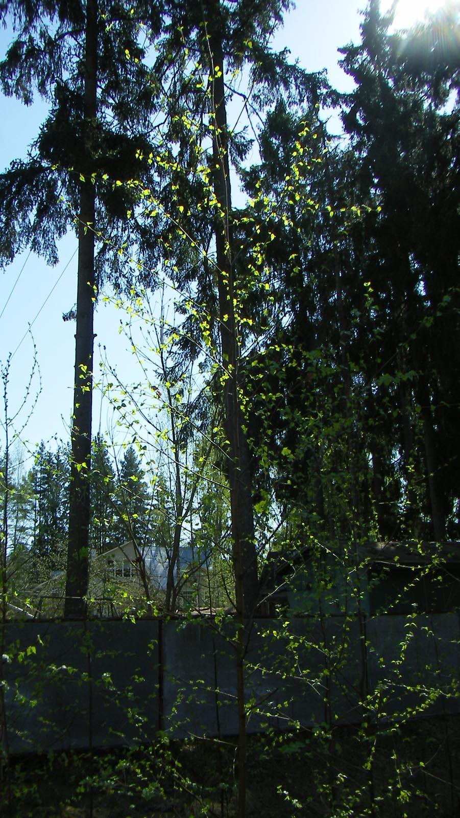 Ветви елей