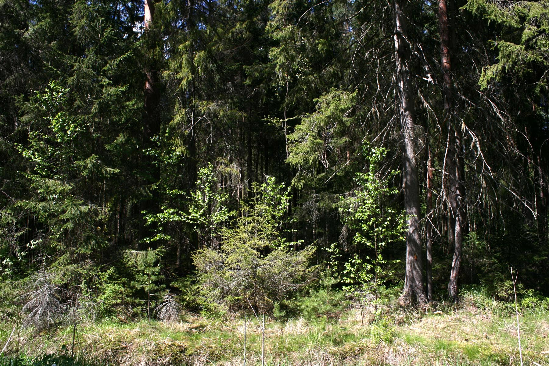 Лес из Берендея