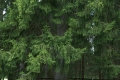 Елки зеленые