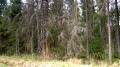 Седой лес