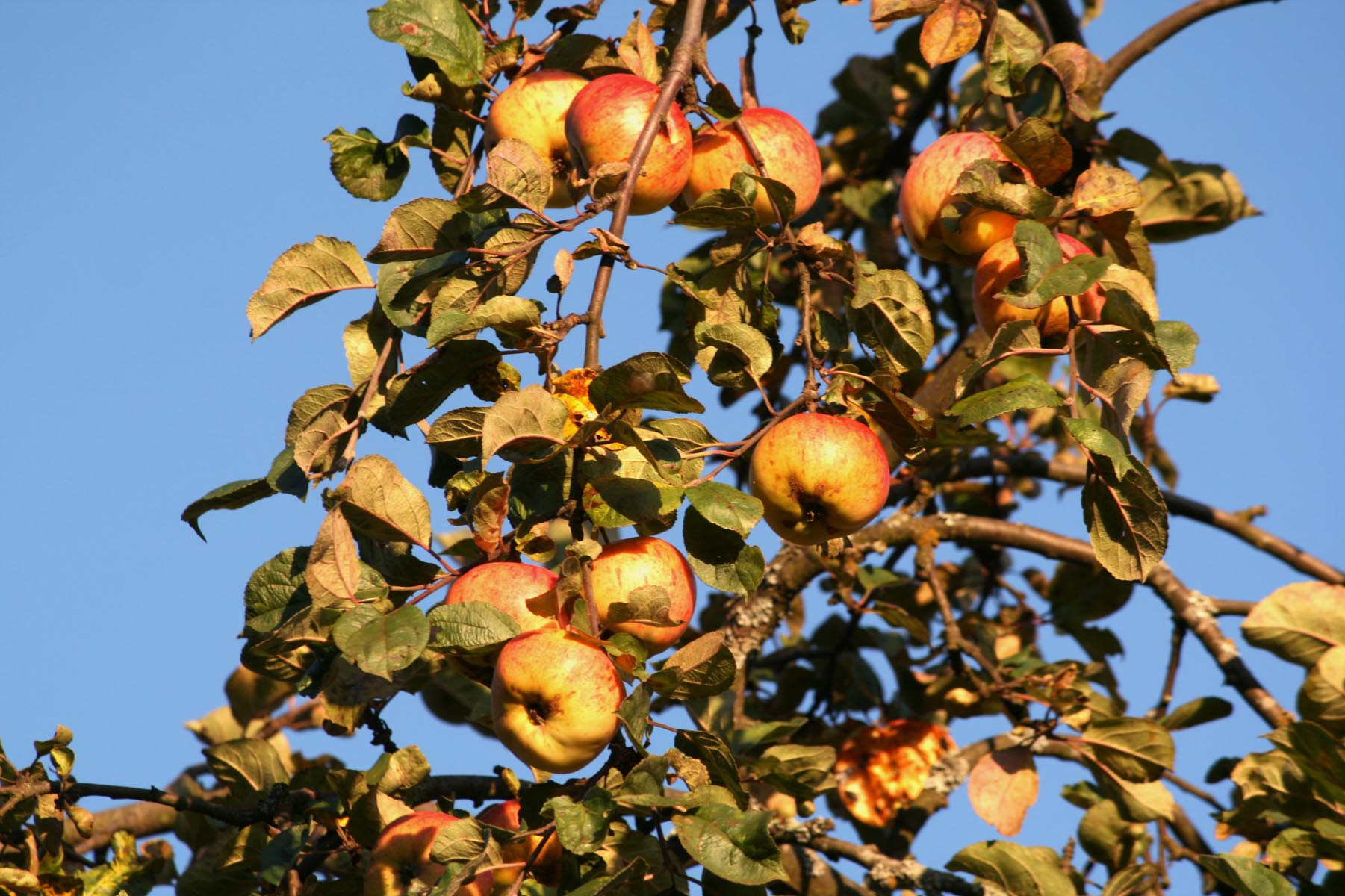 Золотые яблоки